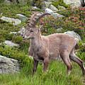 Alpine Ibex by Aivar Mikko