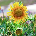 Alpine Sunflower In Summer by Robert Meyers-Lussier