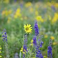 Alpine Sunflower by Meagan Watson