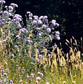 Alpine Thistles And Grasses by Will Borden