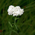 Alpine Yarrow Wildflower 1 by Alisha Jurgens