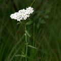 Alpine Yarrow Wildflower 2 by Alisha Jurgens
