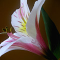 Alstroemeria - Responding by Lucyna A M Green