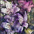 Alstroemeria by Barbara Berney