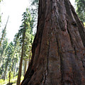 Alta Vista Giant Sequoia by Kyle Hanson