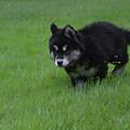 Alusky Puppy Creeping Through Green Grass by DejaVu Designs