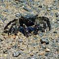 Ama Crab by Pamela Walton