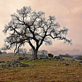 Amador Oak by M Ryan