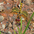 Amanda's Pennant Dragonfly Female by Donna Brown