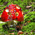Amanita Muscaria by Michal Boubin
