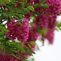 Amaranth Pink Flowering Locust Tree In Spring Rain by Colleen Cornelius