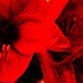 Amaryllis  by Angela Doelling AD DESIGN Photo and PhotoArt