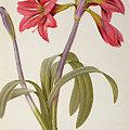Amaryllis Brasiliensis by Pierre Redoute