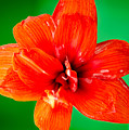 Amaryllis Contrast Orange Amaryllis Flower Appearing To Float Above A Deep Green Background by Andy Smy