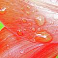 Amaryllis Dew Drops by D Hackett
