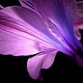 Amaryllis Glow by Krissy Katsimbras