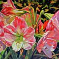 Amaryllis by Keith Burgess