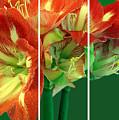 Amaryllis Triptych by Madeline Ellis