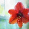 Amaryllis Window by Terry Davis