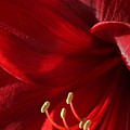 Amaryllis6790 by Gary Gingrich Galleries