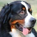 Amazing Bernese Mountain Dog by DejaVu Designs