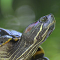 Amazing Close-up Painted Turtle Resting by DejaVu Designs