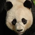 Amazing Face Of A Beautiful Giant Panda Bear by DejaVu Designs