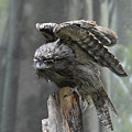 Amazing Frogmouth Bird With His Wings Extended by DejaVu Designs
