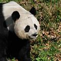 Amazing Giant Panda Bear Sitting In A Grass Field by DejaVu Designs