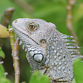 Amazing Gray Iguana Sitting In The Top Of A Bush by DejaVu Designs