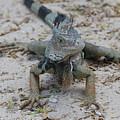 Amazing Iguana With A Striped Tail On A Beach by DejaVu Designs