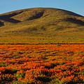 Amazing Poppy Fields by Garry Gay