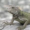 Amazing Posing Gray Iguana Perched On A Log by DejaVu Designs