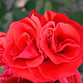Amazing Rose by Nisha Verma