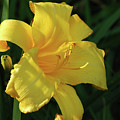 Amazing Yellow Lily Flowering In A Garden by DejaVu Designs