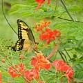 Amazonia Butterfly by Rhonda Allbrandt
