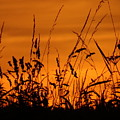 Amber Sundown Meadow Grass Silhouette  by Susan Baker