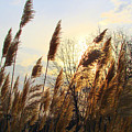 Amber Waves Of Pampas Grass by J R Seymour