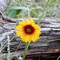 Amber Wheels Blanket Flower by Dan Miller