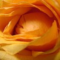 Amber's Rose by Mary Halpin