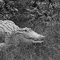 American Alligator 2 Bw by Elisabeth Lucas