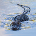 American Alligator by Lee Dalton