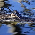 American Alligator  by Mercedes Martishius