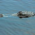 American Alligator Profile by Robert Wilder Jr