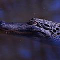 American Alligator Sleeping by Chris Flees