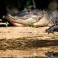 American Alligator Suns Itself by Matt Suess