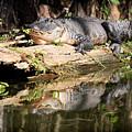 American Alligator With Caterpillar by Matt Suess