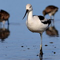 American Avocet . 7d4869 by Wingsdomain Art and Photography