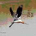 American Avocet Flying by Tom Janca
