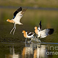 American Avocets by Marie Read